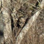 Alien looking face caught peering out of tree in Cibolo, Texas